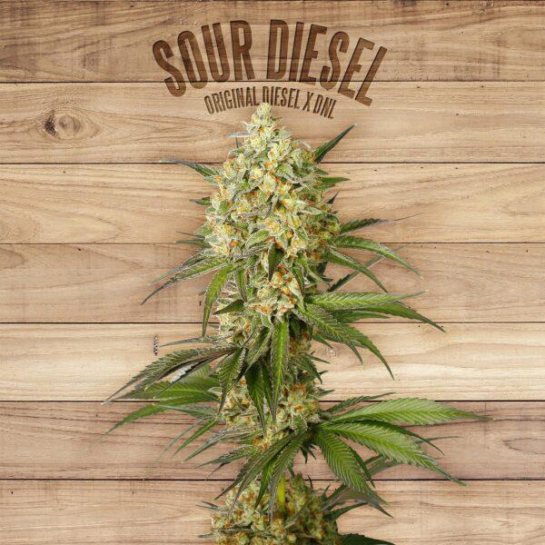 buy sour diesel online without marijuana card